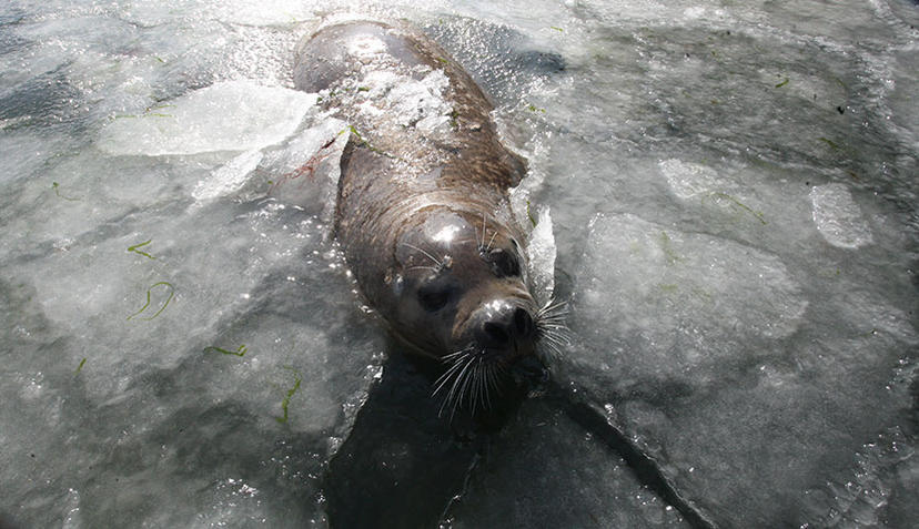 FOTO TË MUAJIT SHKURT - Faqe 3 Spotted-seals-trapped-in-icy-lake-in-yantai