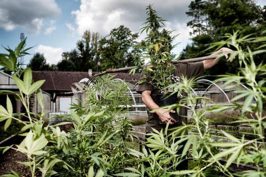 wieviel cannabis mit wieviel lampen