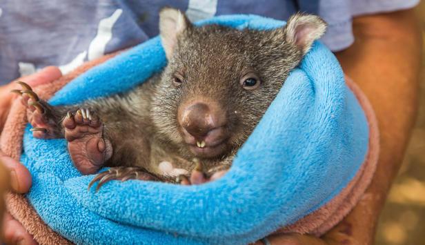 wombat würfel