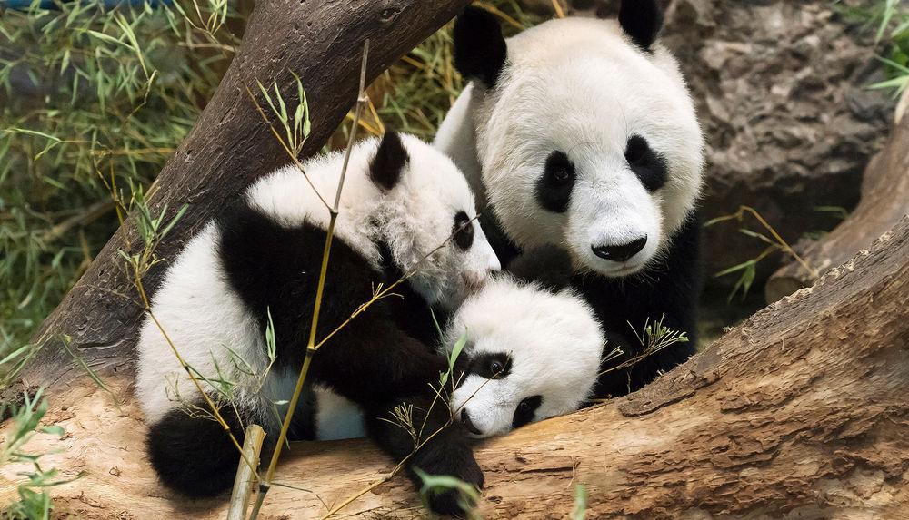 wie alt werden pandas